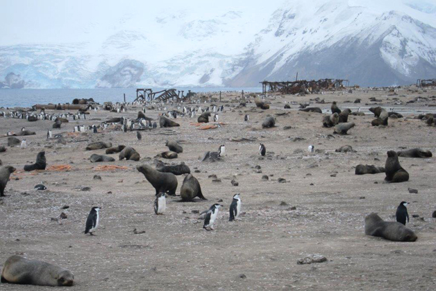 Viewing the penguins and wildlife on Thule Island was a highlight for most passengers. The Argentine Base destroyed by the British in 1982 can be seen in the background.