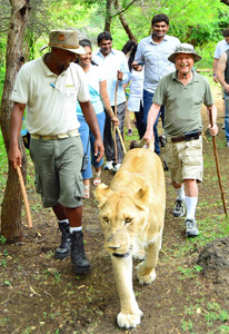 """Walking in style holding the lion's tail is all part of my 10,000 steps a day,"" says Don Parrish. This was taken at Safari Park in the south of Mauritius Island. ""Walking with lions is a great way to experience them,"" he says. ""It is like you are part of the pride as you walk along getting a sense of their pace and what they look at."""